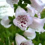 A Detail of Foxglove blooms