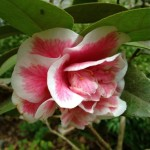 Gorgeous Pink and White Camillia